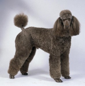 Apparence Caniche Royal