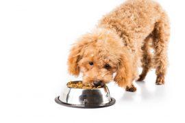 Chien caniche mangeant des croquettes